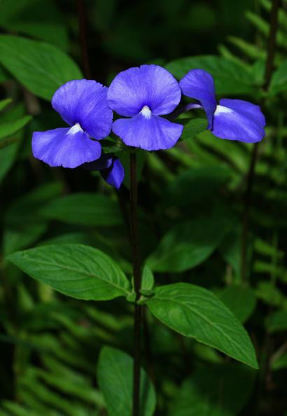 Otacanthus caeruleus - Brazilian Snapdragon, Amazon Blue
