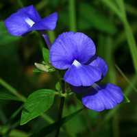 Purple and Blue Hawaiian Flowers - Otacanthus caeruleus – Brazilian Snapdragon