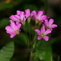 Pink Hawaiian Flowers - Oxalis debilis var. corymbosa – Pink Wood Sorrel
