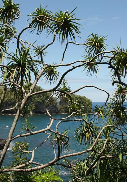 Pandanus tectorius - Hala, Tahitian Screwpine, Pu Hala, Screw Pine, Textile Screwpine, Thatch Screwpine, Pandanus, Pandan, Tourist Pineapple, Pineapple Tree