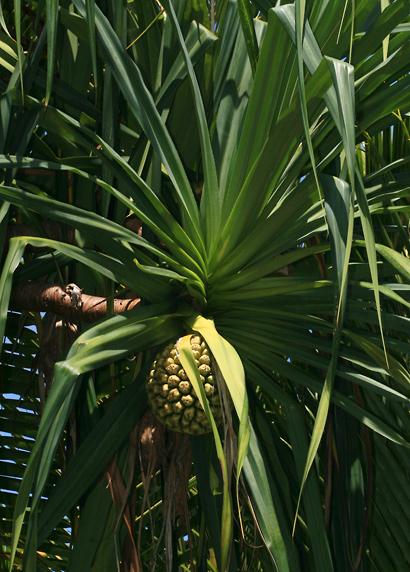 Pandanus tectorius - Hala, Tahitian Screwpine, Pu Hala, Screw Pine, Textile Screwpine, Thatch Screwpine, Pandanus, Pandan, Tourist Pineapple, Pineapple Tree (green fruit)