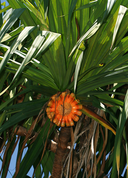 Pandanus tectorius - Hala, Tahitian Screwpine, Pu Hala, Screw Pine, Textile Screwpine, Thatch Screwpine, Pandanus, Pandan, Tourist Pineapple, Pineapple Tree (ripe fruit)