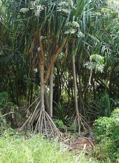 Pandanus tectorius - Hala, Tahitian Screwpine, Pu Hala, Screw Pine, Textile Screwpine, Thatch Screwpine, Pandanus, Pandan, Tourist Pineapple, Pineapple Tree (prop roots)