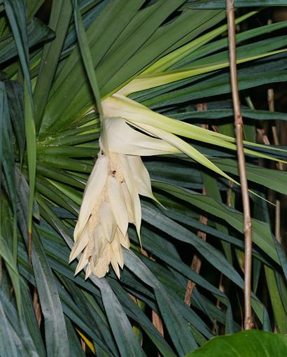 Pandanus tectorius - Hala, Tahitian Screwpine, Pu Hala, Screw Pine, Textile Screwpine, Thatch Screwpine, Pandanus, Pandan, Tourist Pineapple, Pineapple Tree (male flowers)