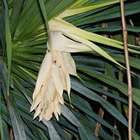 White Hawaiian Flowers - Pandanus tectorius – Hala