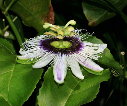 Passiflora edulis f. flavicarpa - Liliko'i, Lilikoi, Yellow Passionfruit, Yellow Passion Fruit (flower)