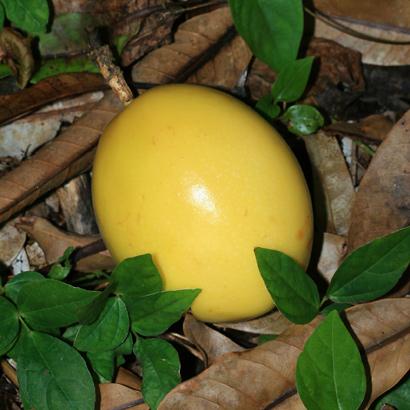 Passiflora edulis f. flavicarpa - Liliko'i, Lilikoi, Yellow Passionfruit, Yellow Passion Fruit (fruit)