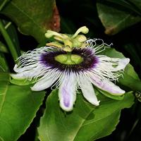 White Hawaiian Flowers - Passiflora edulis f. flavicarpa – Liliko'i