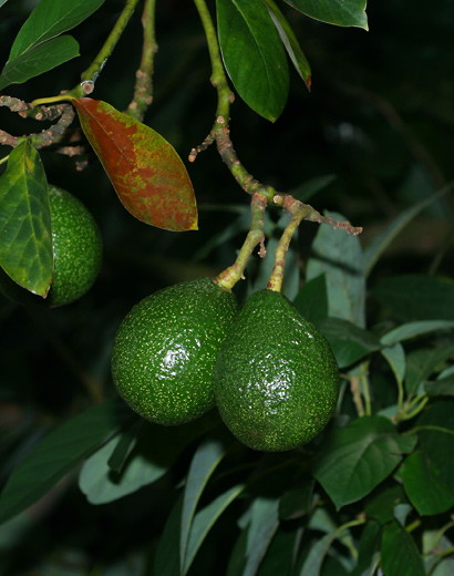 Persea americana - Avocado, Alligator Pear (rough fruit)