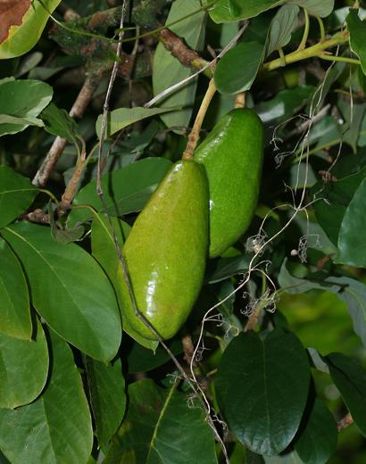 Persea americana - Avocado, Alligator Pear (smooth fruit)