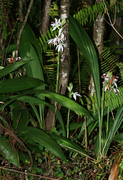 Phaius tancarvilleae - Nun's-hood Orchid, Chinese Ground Orchid, Nun's Orchid, Twelve Apostles