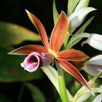 Brown and Drab Hawaiian Flowers - Phaius tancarvilleae – Nun's-hood Orchid
