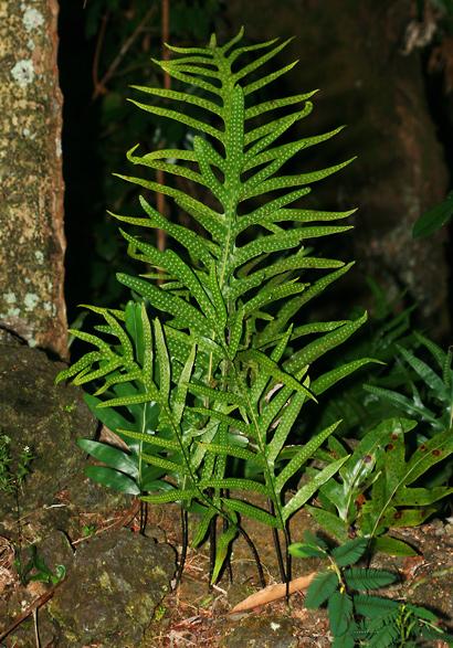 Phymatosorus grossus - Musk Fern, Laua'e, Maile-Scented Fern, Wart Fern