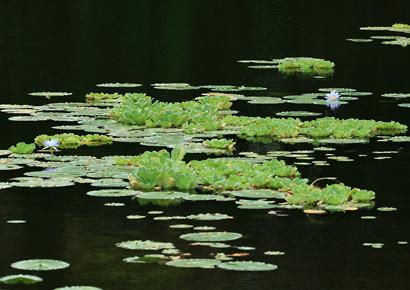 Pistia stratiotes - Water Lettuce, Water-lettuce