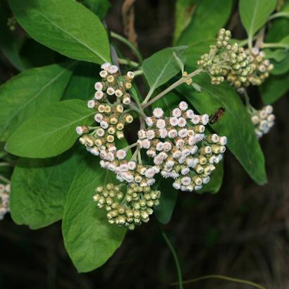 Pluchea carolinensis - Cure For All, Sourbush, Pluchea, Cattletongue (flowers)