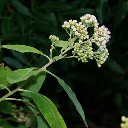 Pluchea carolinensis - Cure For All, Sourbush, Pluchea, Cattletongue