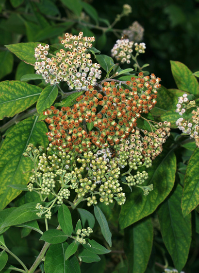 Pluchea carolinensis - Cure For All, Sourbush, Pluchea, Cattletongue (old brown flowers)