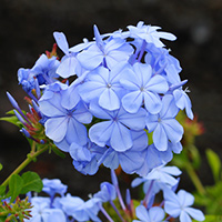Purple and Blue Hawaiian Flowers - Plumbago auriculata – Plumbago