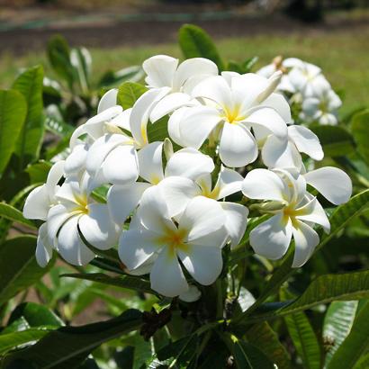 Plumeria obtusa - Singapore Plumeria, Singapore Graveyard Flower, Frangipani (flowers)