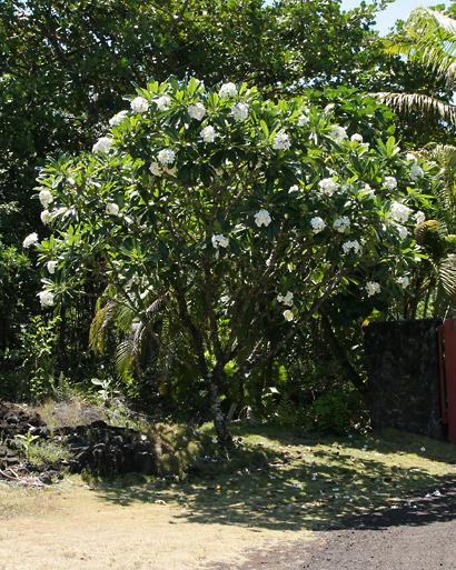 Plumeria obtusa - Singapore Plumeria, Singapore Graveyard Flower, Frangipani