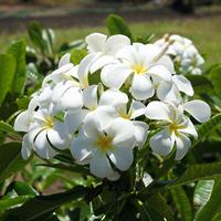 White Hawaiian Flowers - Plumeria obtusa – Singapore Plumeria