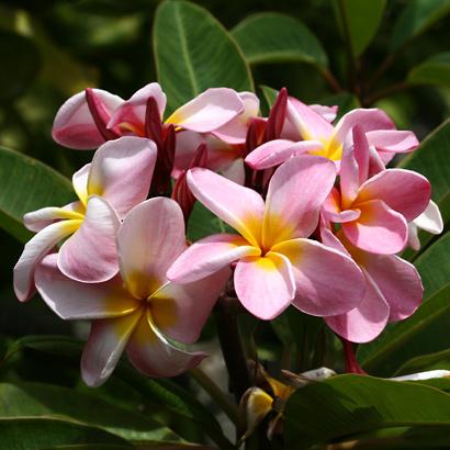 Plumeria rubra - Frangipani, Templetree, Mexican Plumeria, Red Plumeria, Pagoda Tree (pink flowers)
