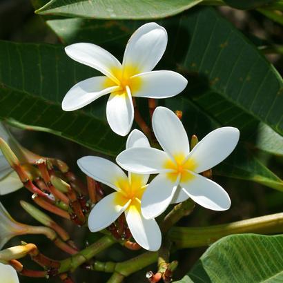 Plumeria rubra - Frangipani, Templetree, Mexican Plumeria, Red Plumeria, Pagoda Tree (white flowers)