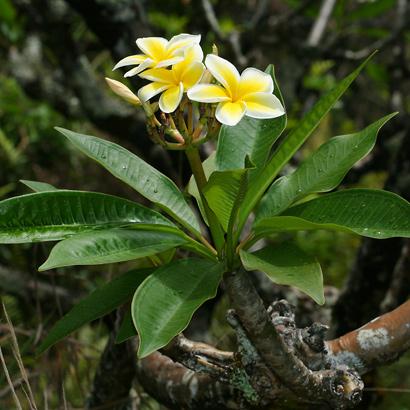 Plumeria rubra - Frangipani, Templetree, Mexican Plumeria, Red Plumeria, Pagoda Tree (yellow flowers and leaves)