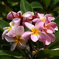 Pink Hawaiian Flowers - Plumeria rubra – Frangipani