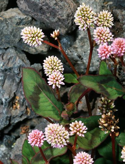 Polygonum capitatum - Pinkhead Smartweed, Pinkhead Knotweed, Pink Knotweed