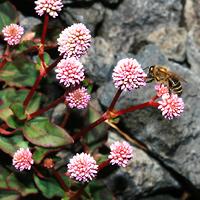 Pink Hawaiian Flowers - Polygonum capitatum – Pinkhead Smartweed