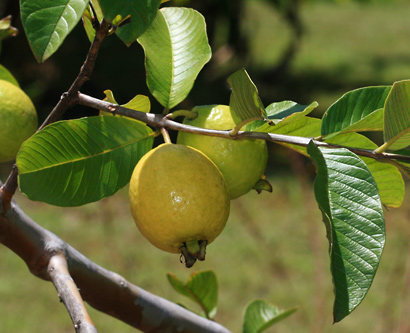 Psidium guajava - Guava, Kuawa (fruit)