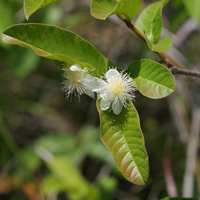 Psidium guajava - Guava, Kuawa (flowers and leaves)