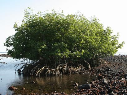 Rhizophora mangle - Red Mangrove, American Mangrove