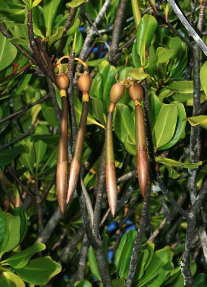 Rhizophora mangle - Red Mangrove, American Mangrove (sprouted fruit seedlings)