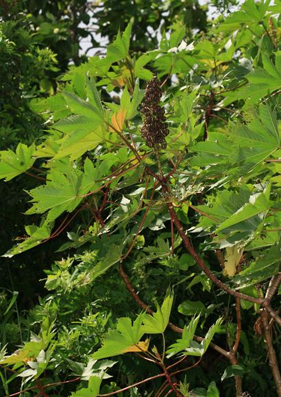 Ricinus communis - Castor Bean, Castorbean, Castor Oil Plant, Palma Christi