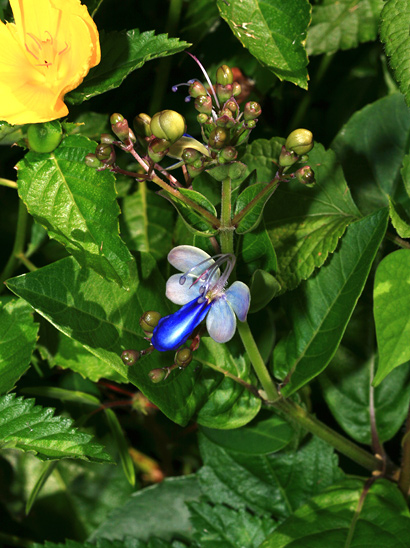 Rotheca myricoides - Blue Butterfly Bush, Butterfly Clerodendrum, Blue Glory Bower, Blue Glorybower, Blue Cat's Whiskers