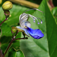 Purple and Blue Hawaiian Flowers - Rotheca myricoides – Blue Butterfly Bush