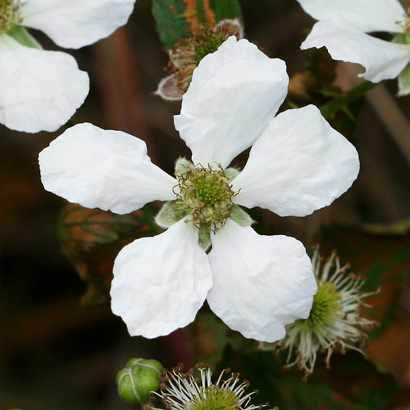 Rubus argutus - Sawtooth Blackberry, Prickly Florida Blackberry, Highbush Blackberry (flower)