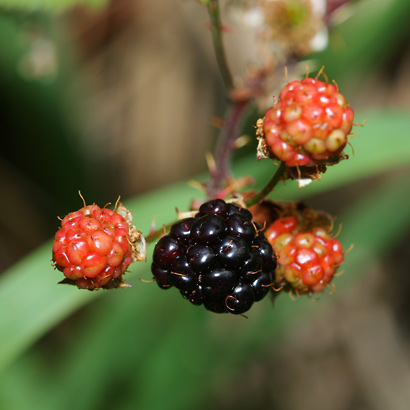 Rubus argutus - Sawtooth Blackberry, Prickly Florida Blackberry, Highbush Blackberry (fruit)