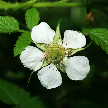 Rubus rosifolius - West Indian Raspberry, Ola'a, Roseleaf Raspberry, Rose-leaf Bramble, Thimbleberry (flower)