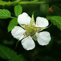 White Hawaiian Flowers - Rubus rosifolius – West Indian Raspberry