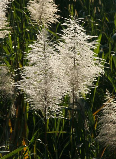 Saccharum officinarum - Sugarcane, Sugar Cane, Ko
