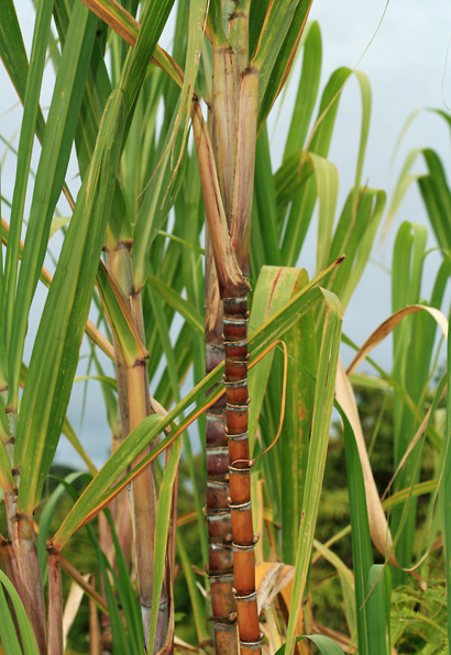 Saccharum officinarum - Sugarcane, Sugar Cane, Ko (stem)