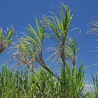 Inconspicuous Hawaiian Flowers - Saccharum officinarum – Sugarcane