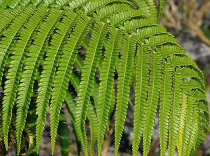Sadleria cyatheoides - Amaumau Fern, 'Ama'uma'u, 'Ama'u, Rasp Fern (leaf upper side)