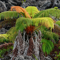 Non-flowering Hawaiian Plants - Sadleria cyatheoides – Amaumau Fern