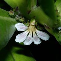 White Hawaiian Flowers - Scaevola sericea – Beach Naupaka