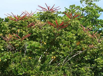 Schefflera actinophylla - Octopus Tree, Umbrella Tree, Ivy Palm, Schefflera