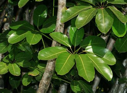 Schefflera actinophylla - Octopus Tree, Umbrella Tree, Ivy Palm, Schefflera (leaves)